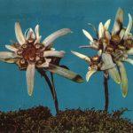Эдельвейсы 150x150 - Цветы