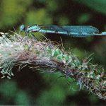Эналлагма 150x150 - Прочие насекомые