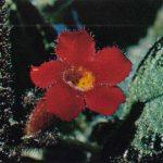 Эписция медная 150x150 - Цветы