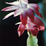 Эпифиллопсис Гертнера 150x150 - Цветы