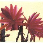 Эпифиллюм Аккермана 150x150 - Цветы
