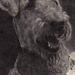Эрдель терьер 2 150x150 - Собаки чёрно-белые