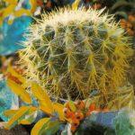 Эхинокактус Грусона 150x150 - Цветы
