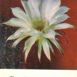 Эхинопсис Бриджеса 150x150 - Цветы