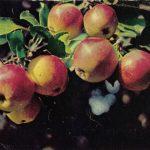 Яблоки Пепин шафранный 150x150 - Различные растения