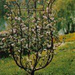 Яблоня обрезка в форме вазы 150x150 - Различные растения