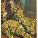 Ягуар с детёнышем 150x150 - Ленинградский Зоопарк