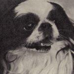 Японский хин 150x150 - Собаки чёрно-белые