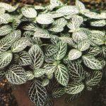 001.Фиттония серебристожильчатая мелколистная 150x150 - Цветы