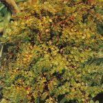 001. Бегония многолистная 150x150 - Цветы