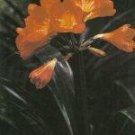002. Кливия оранжевая 150x150 - Цветы