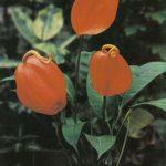 003. Антуриум Шерцера 150x150 - Цветы