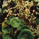 004. Бегония раковинолистная 150x150 - Цветы