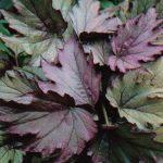 007. Бегония диадема Купферконигин 150x150 - Цветы