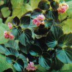 008. Бегония непрерывноцветущая Пинг Камеллиа 150x150 - Цветы