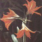 009. Гиппеаструм гибридный 150x150 - Цветы