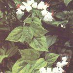010. Клеродендрон Томсона 150x150 - Цветы