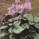 012. Цикламен европейский 150x150 - Цветы