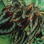 013. Бегония катаянская 150x150 - Цветы