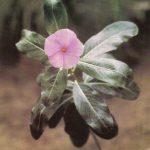 013. Катарантус розовый 150x150 - Цветы