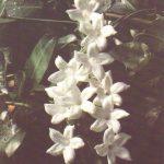 014. Зефирантес крупноцветковый 150x150 - Цветы
