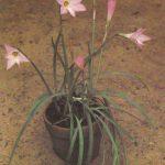015. Стефанотис обильноцветущий 150x150 - Цветы
