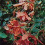 016. Бегония ампельная клубневая 150x150 - Цветы