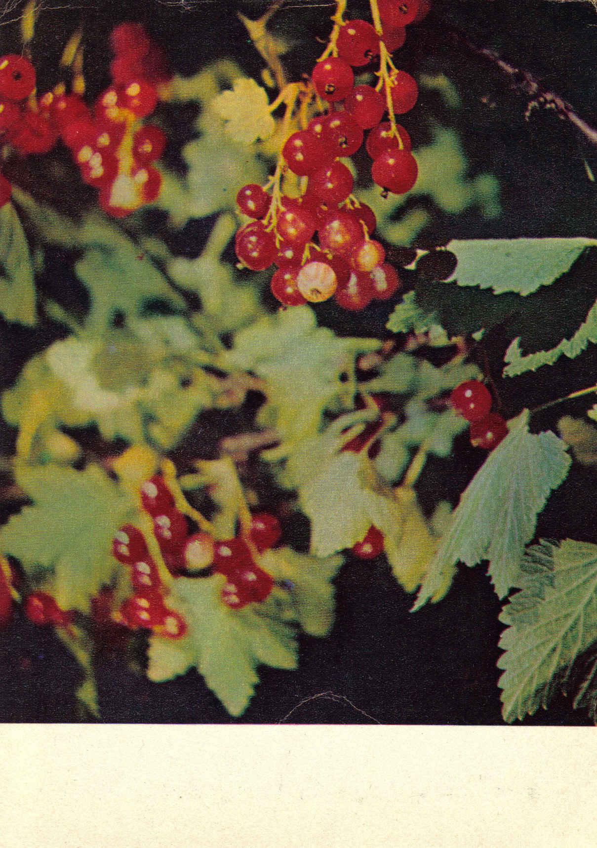 Красная смородина открытки 70