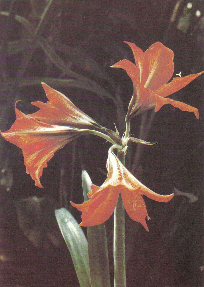 Фото комнатных цветов семейства лилейных